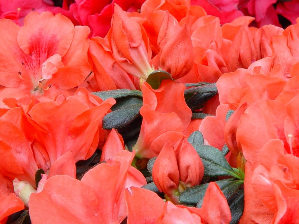 Azalea indica 'Franziska R.'
