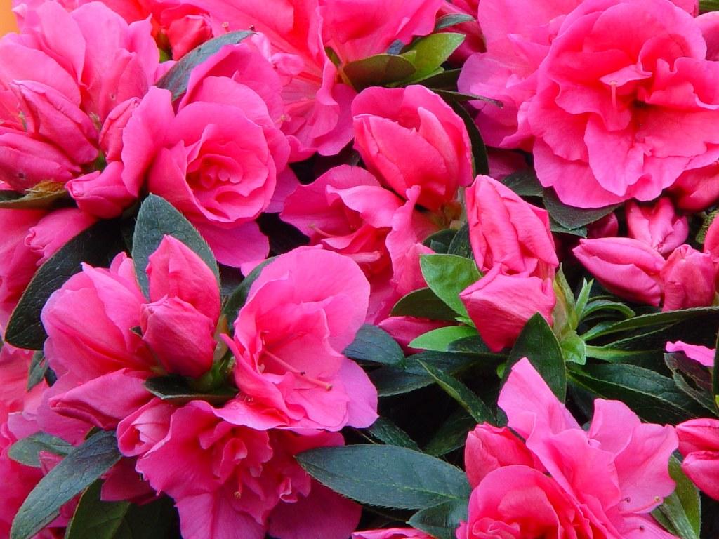 Azalea indica 'Remembrance'