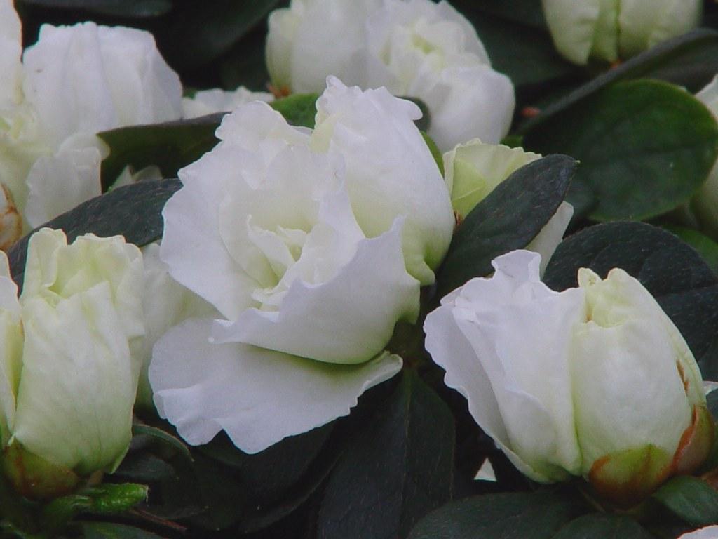 Azalea indica 'Schneek nigin'