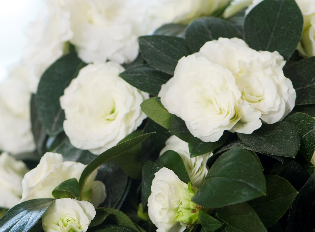 Azalea indica Aiko White