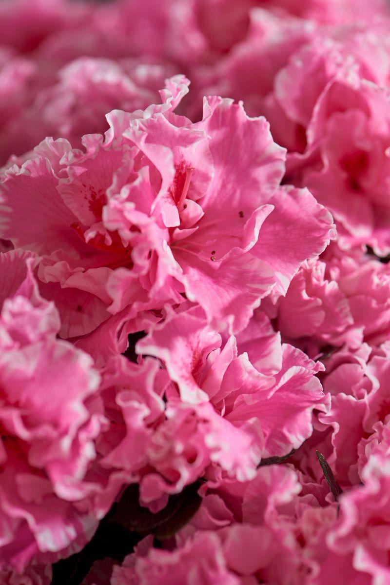 Azalea indica Hortinno Classic Bicolor