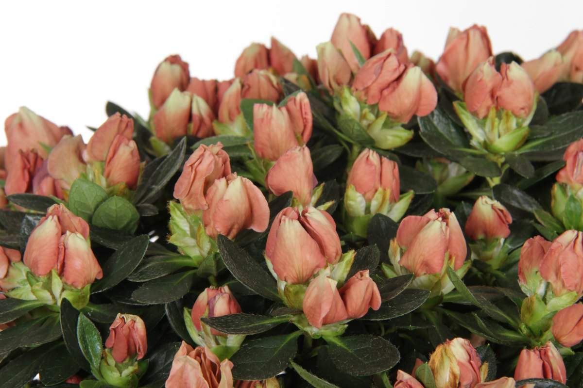 Azalea indica Hortinno Lime Peach